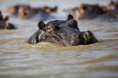 Strąk hipopotam przy zmierzchem fotografia royalty free
