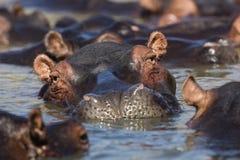 Strąk hipopotam przy zmierzchem zdjęcia stock