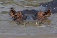 Strąk hipopotam przy zmierzchem zdjęcie royalty free