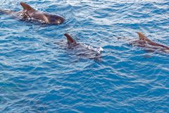 Strąk Krótki użebrowany pilotowy wieloryb z wybrzeża Tenerife, Hiszpania Obrazy Stock