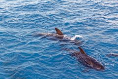 Strąk Krótki użebrowany pilotowy wieloryb z wybrzeża Tenerife, Hiszpania Zdjęcia Stock