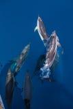 Strąk Pasiaści delfiny obrazy stock