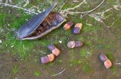 Strąki Afzelia xylocarpa na cementowej podłoga i ziarna Zdjęcia Royalty Free