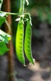 Strąki młodzi zieleni grochy Obraz Stock