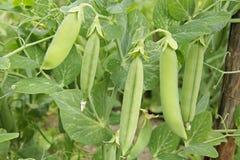 Strąki zieleni grochy na gałąź Naturalni organicznie warzywa r w ogródzie Obrazy Stock