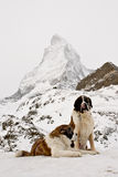 Str.Bernardine Hunde und Matterhorn Stockfoto