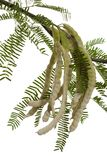 strączki mesquite Zdjęcia Stock