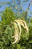 strączki mesquite skupisk Fotografia Royalty Free