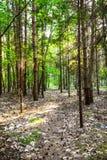 Str?lar av solen i skogen arkivbilder