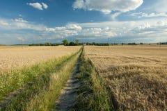Straße überwältigt mit Gras auf einem Gebiet des Weizens, Bäume auf dem hori stockfoto