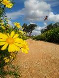 Straße auf einem Gebiet von gelben Blumen Lizenzfreie Stockfotos
