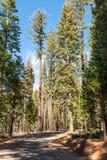 Straße durch die riesigen Mammutbäume Forest Sequoia National Forest lizenzfreies stockbild