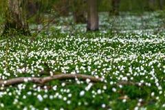 Straße in einem Frühlingswald mit schönen weißen Blumen Stockbild