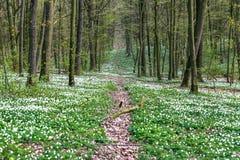 Straße in einem Frühlingswald mit schönen weißen Blumen Lizenzfreies Stockfoto