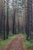 Straße in einem Kiefernwald Stockfotos