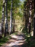 Straße in einer Birkenwaldung Stockfotos