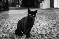 Straße Marokko, Essaouira-sity der schwarzen Katze Katze, welche die Kamera räuberisch, flüchtigen Blick betrachtet Stockbilder