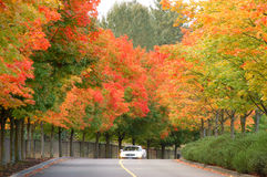 Straße mit Ahornholz-Bäumen Stockbild