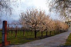 Straße mit Bäumen der Kirschblüte stockfotografie