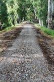 Straße mit eucaliptus Bäumen Stockfotografie