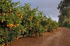 Straße mit vielen Orangenbäumen Stockbild