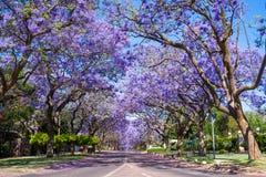 Straße in Pretoria mit Jacarandabäumen Stockfotografie