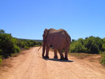 Straßen der Welt: Großer Stoßzahn-Elefant Stockfoto