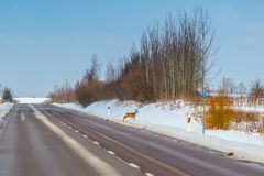 Straßengefahr, Tierkreuzung stockfoto