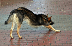 Straßenhund stockbild