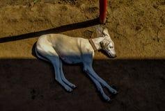 Straßenhund, der mit dem Spiel des Sonnenlichts und des Schattens schläft lizenzfreies stockfoto