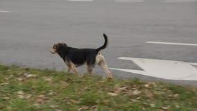 Straßenhunde stock footage
