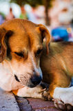 Straßenhundeporträt Stockfotos
