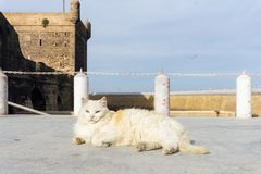 Straßenkatze auf den Straßen von Marrakesch und von Essaouira in Marokko im Fischereihafen und Medina nahe der Wand lizenzfreies stockfoto