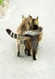 Straßenkatzen Stockfotografie