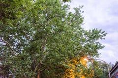 Straßenlaterne mit Baum am blauen Stundenabend lizenzfreies stockfoto