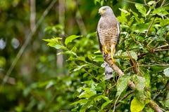 Straßenrand-Falke im Dschungel Stockbilder