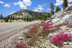 Straßenrandblumen in Yosemite-Hochland stockbild