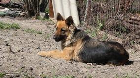 Strażowy pies na łańcuchu zdjęcie wideo