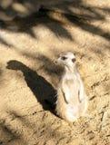 strażowy obowiązku meerkat Fotografia Royalty Free