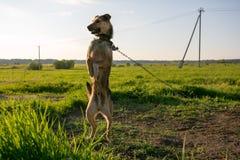 Strażowy pies na łańcuchu Zdjęcia Stock