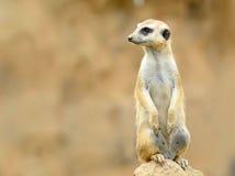 strażowy meerkat Zdjęcie Royalty Free