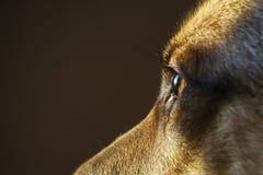 Strażowy pies Zdjęcia Royalty Free