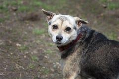 Strażowy pies na gospodarstwie rolnym Obrazy Royalty Free
