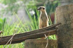 strażowym meerkat jest Zdjęcia Royalty Free