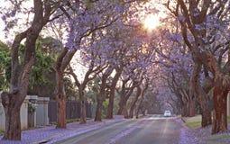 Straat met Jacaranda-bomen in bloem Stock Afbeelding