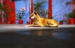 Straat of Verdwaalde Hond die iets zoeken royalty-vrije stock afbeeldingen