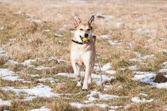 Straathond van Labrador en Duitse herder royalty-vrije stock foto's
