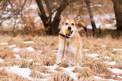 Straathond van Labrador en Duitse herder royalty-vrije stock afbeeldingen
