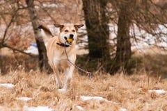 Straathond van Labrador en Duitse herder stock afbeeldingen