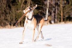 Straathond van windhond en Duitse herder stock afbeelding
